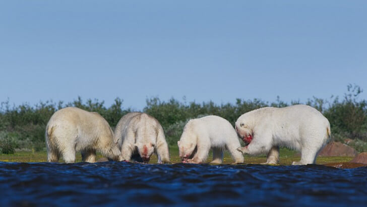 A group of polar bears hunting for food near water