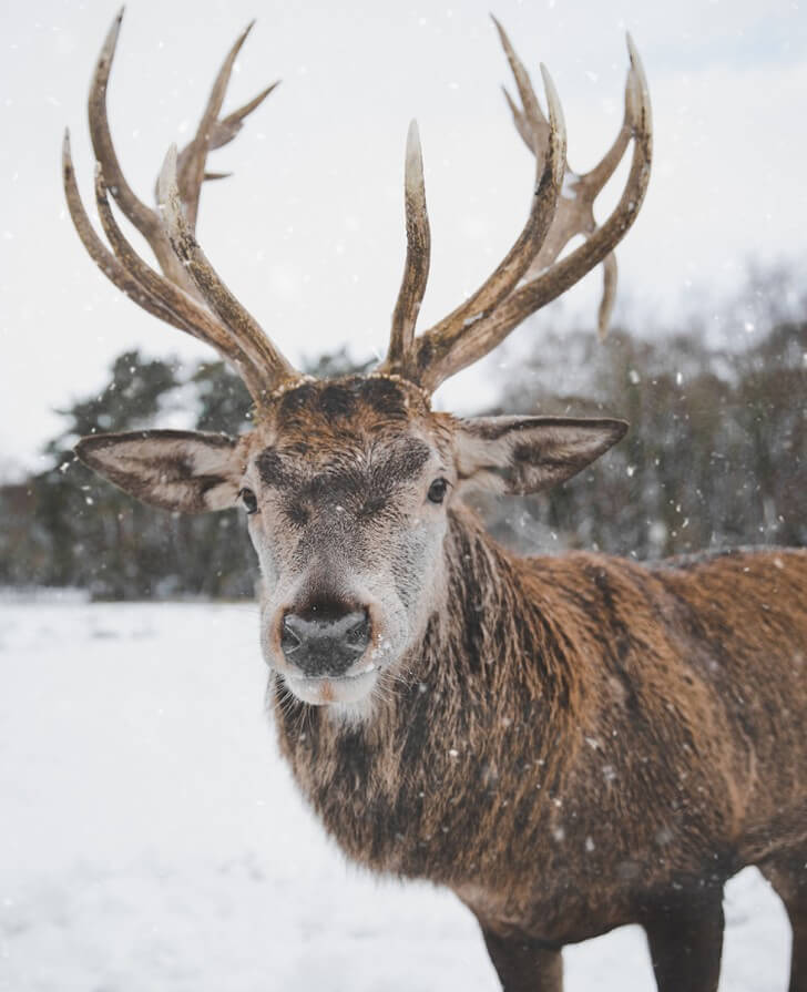 A reindeer in the snow looks directly at the camera