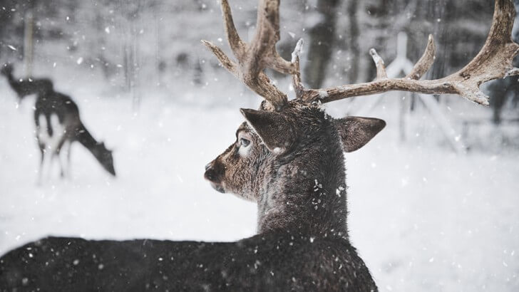 A reindeer in the snow looks away from the camera