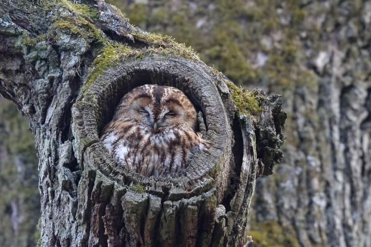 A tawny owl in a hole in a tree