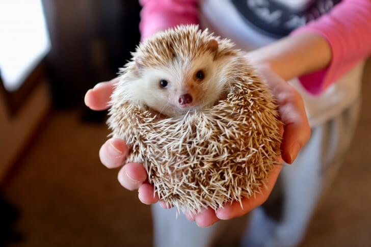 A hedgehog rests in a woman's hands