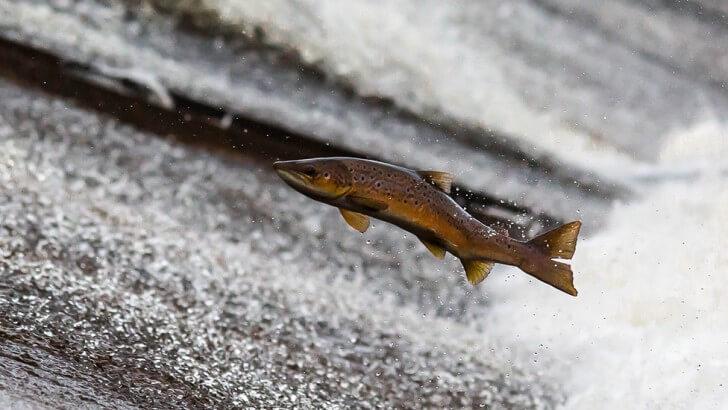 A European salmon leaps up a stream