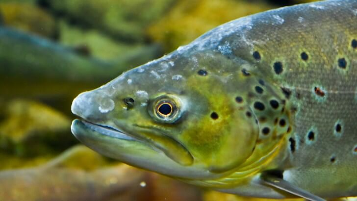 A close up picture of a European salmon