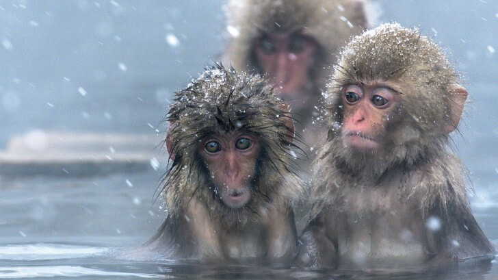 Three Japanese macaques in an icy pool