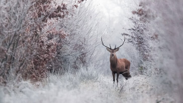 A stag standing in a snowy forest