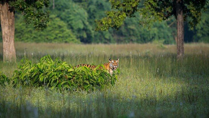 A tiger called Raj Bhera patrolling a meadow