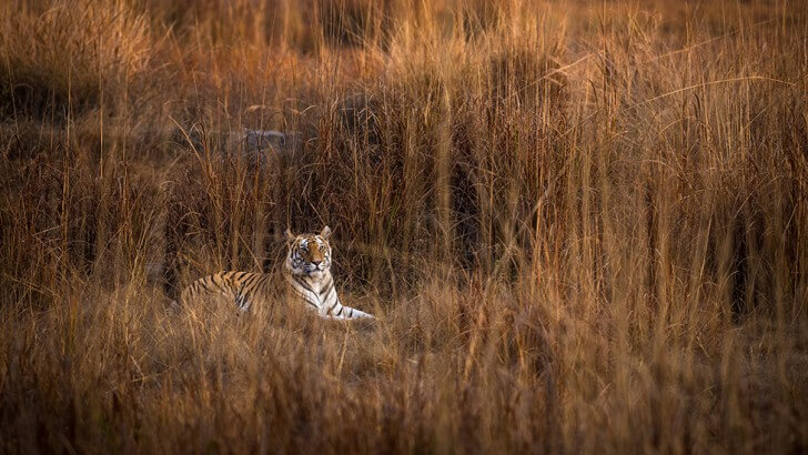 A tiger called Raj Bhera using her camouflage to try to ambush prey in grasslands