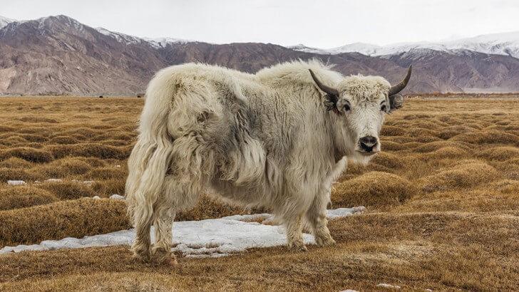 A white yak stands in grassland