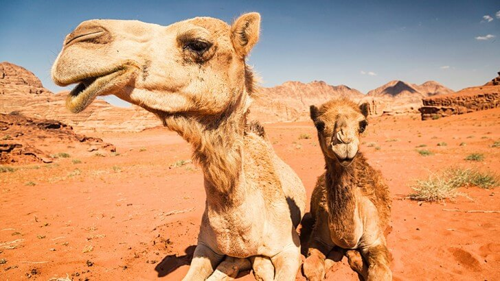 An adult and young camel sit in the desert