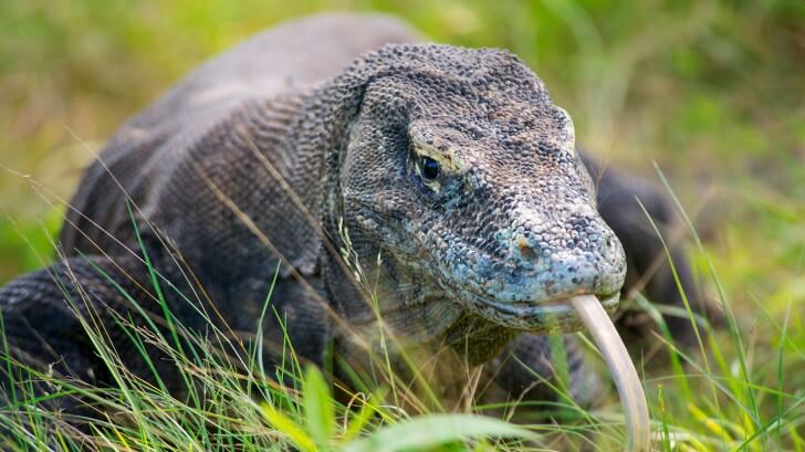 A Komodo dragon in long grass