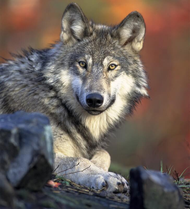 A wolf in woodland looking directly at a camera