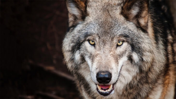 A wolf looks directly at the camera