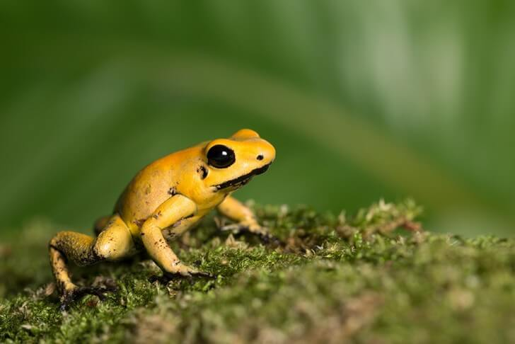 a golden poison dart frog
