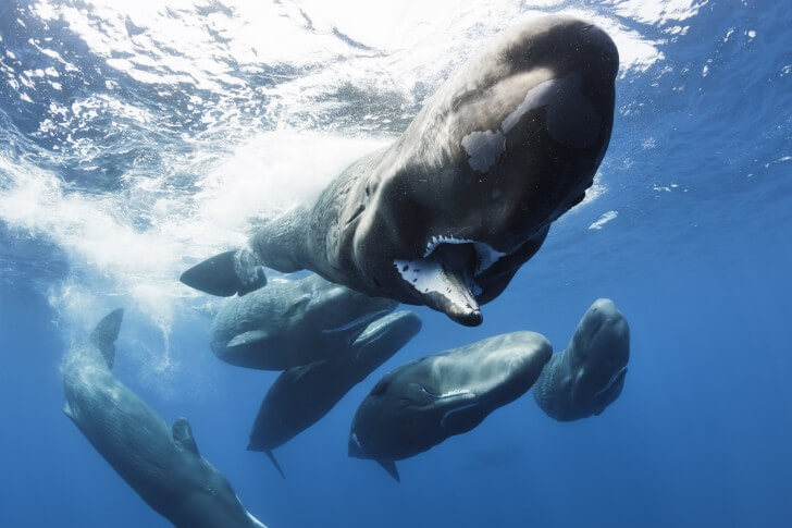 female and calf sperm whales