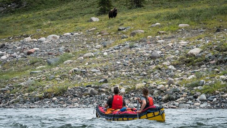a muskox watches two people canoeing