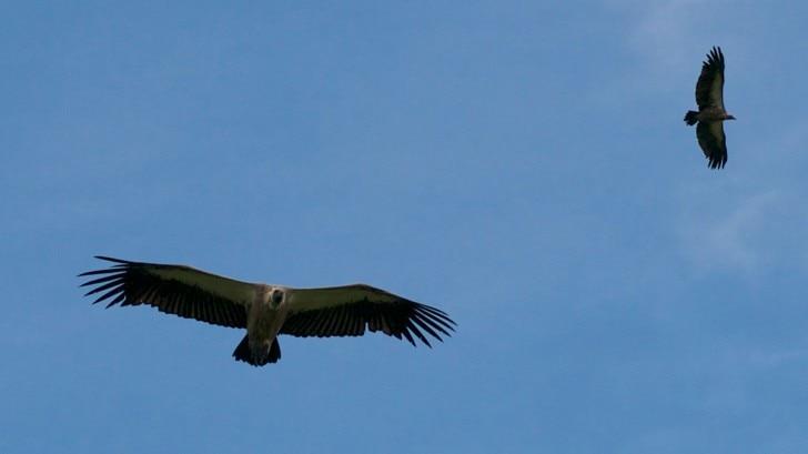 vultures flying