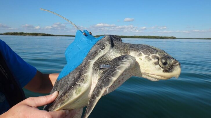 turtle with tracking device
