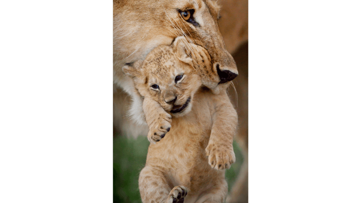 lion cub being carried in mothers mouth