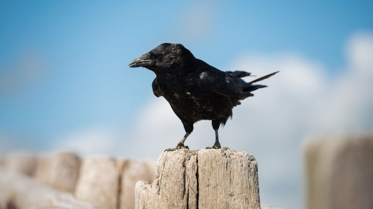 Crow standing on a wooden fence
