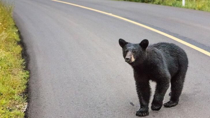 bear on road