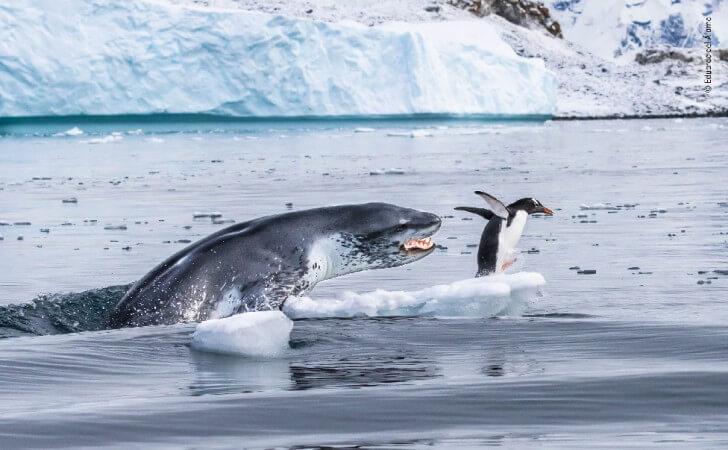 seal chasing penguin