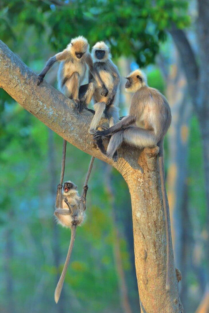monkeys swinging