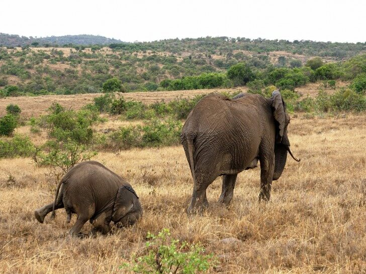 elephant faceplant