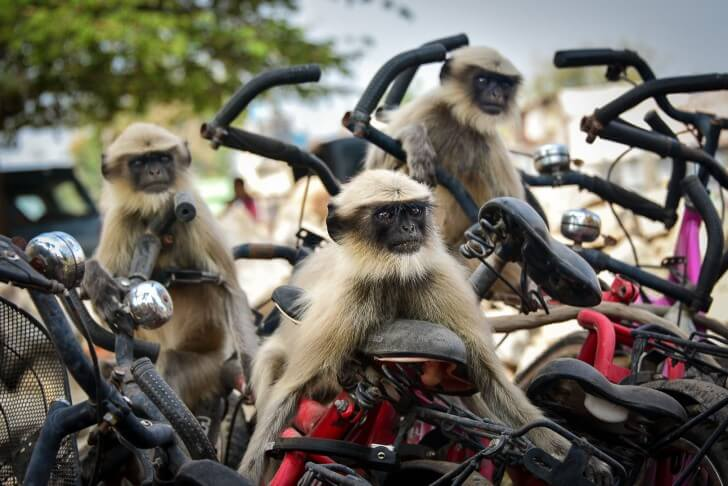 monkeys on bikes