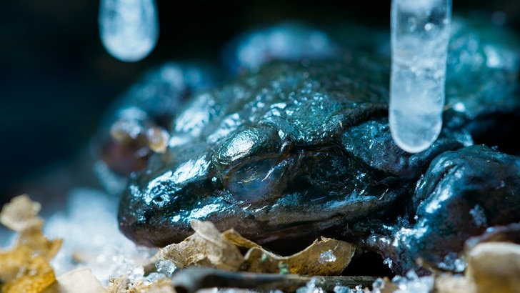 A frozen wood frog thaws and returns to life.