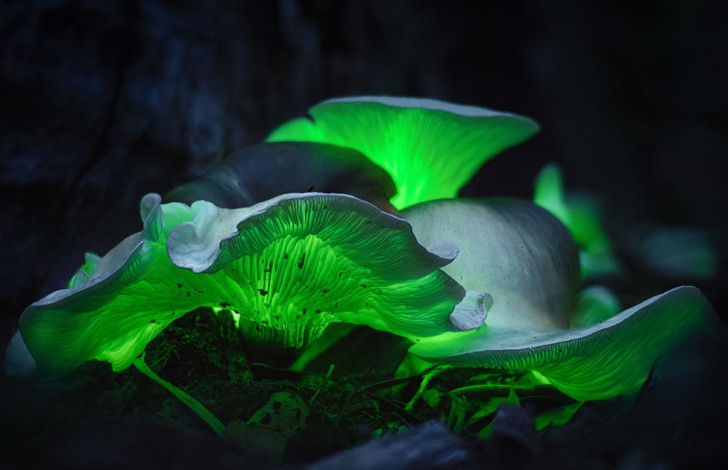Ghost mushrooms glow in the dark