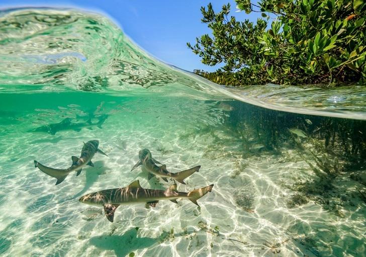 Lemon sharks swimming through a mangrove forest