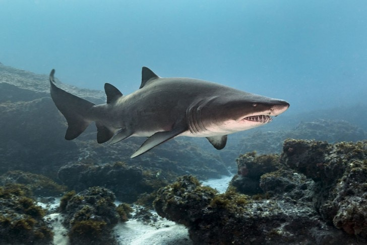 Sand tiger shark swimming by some rocks