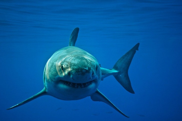 Great white shark swimming in the ocean