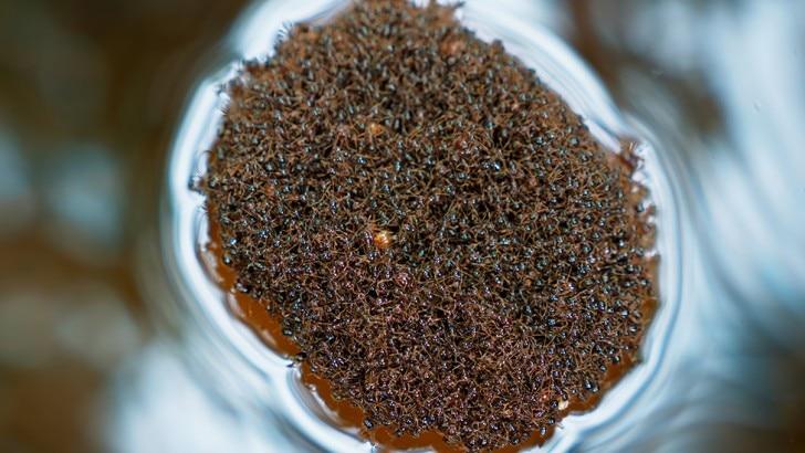 Fire ants floating together