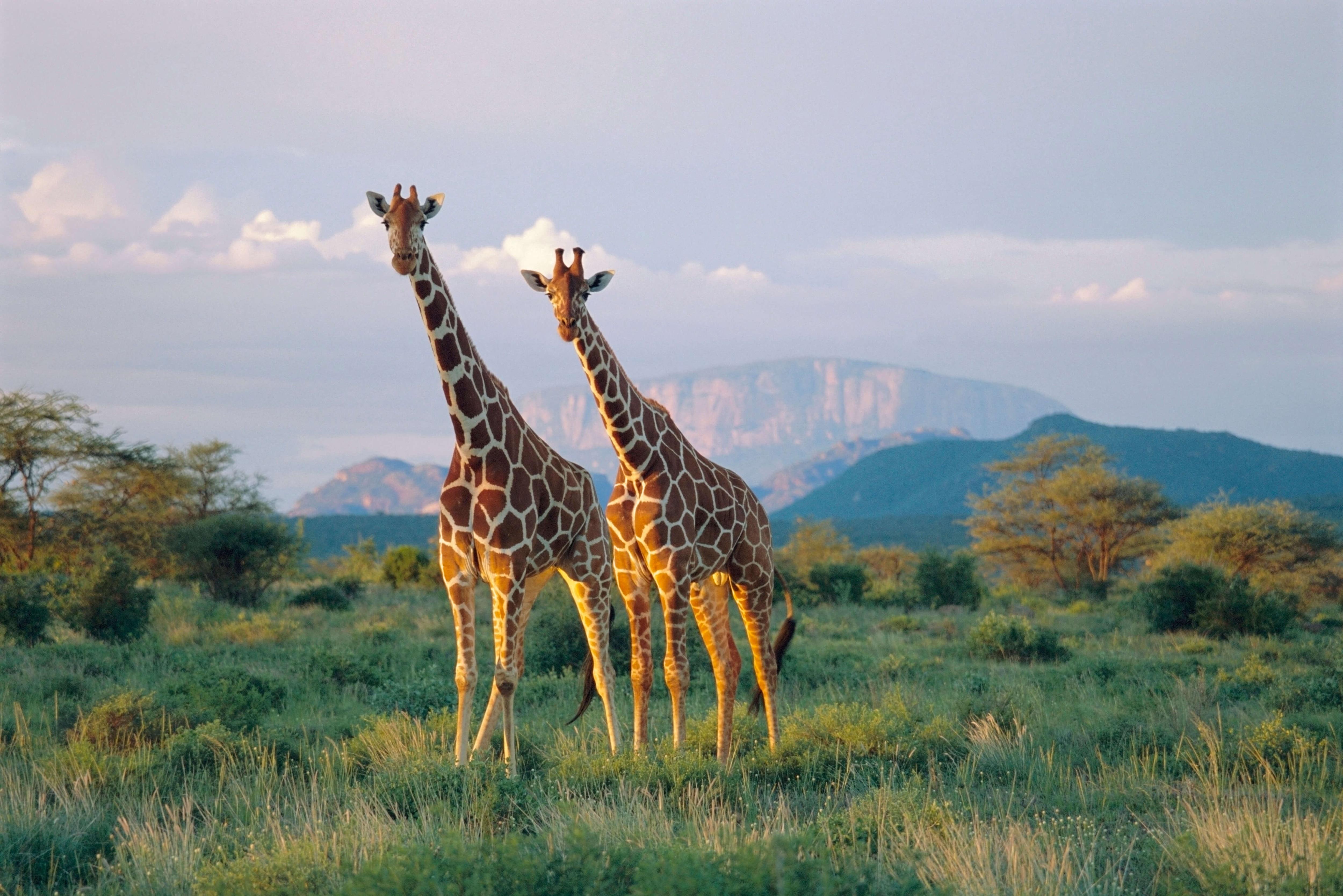 Two giraffes walking through grassland in Kenya
