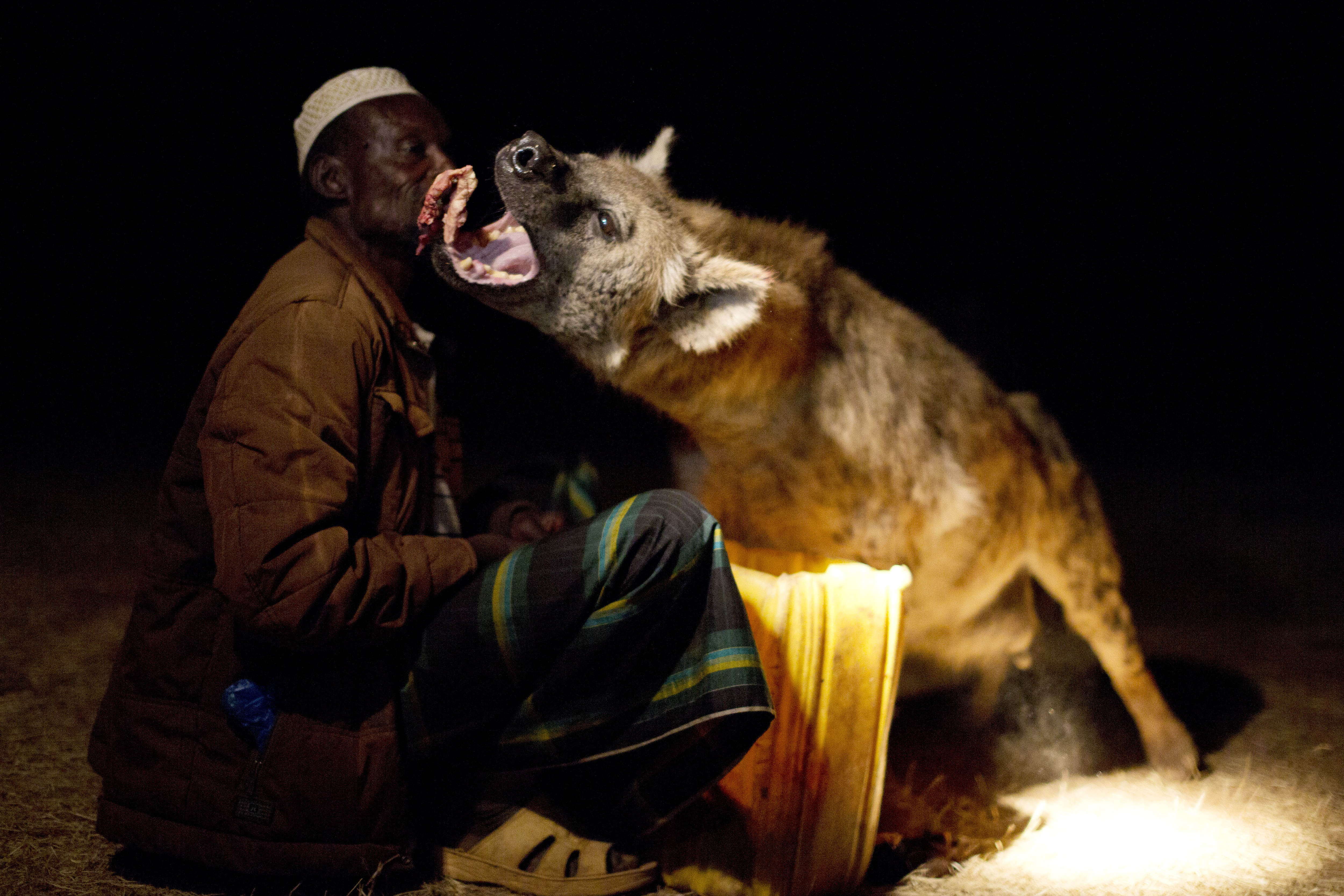Hyena eating meat