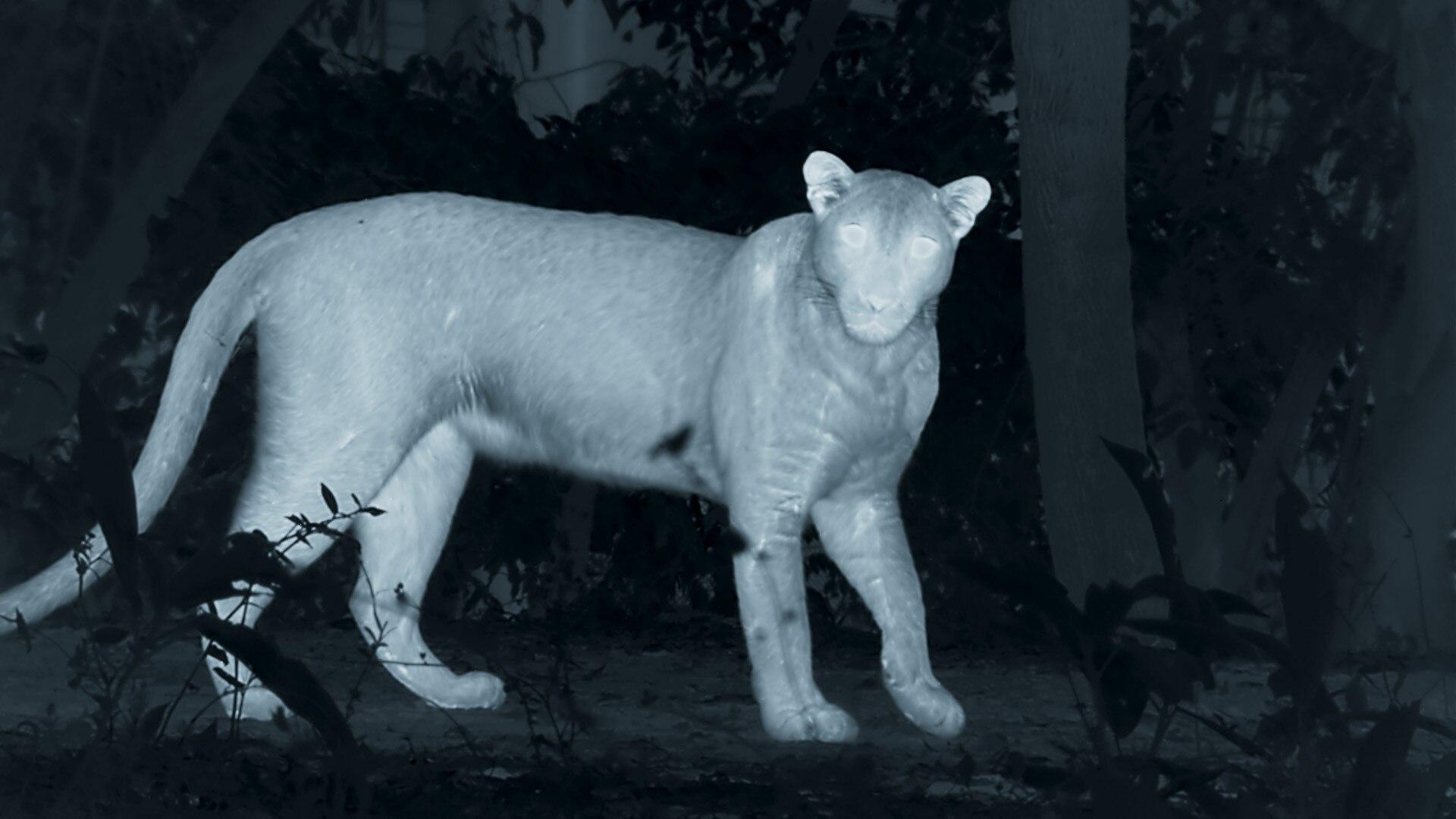 Leopard on night vision camera