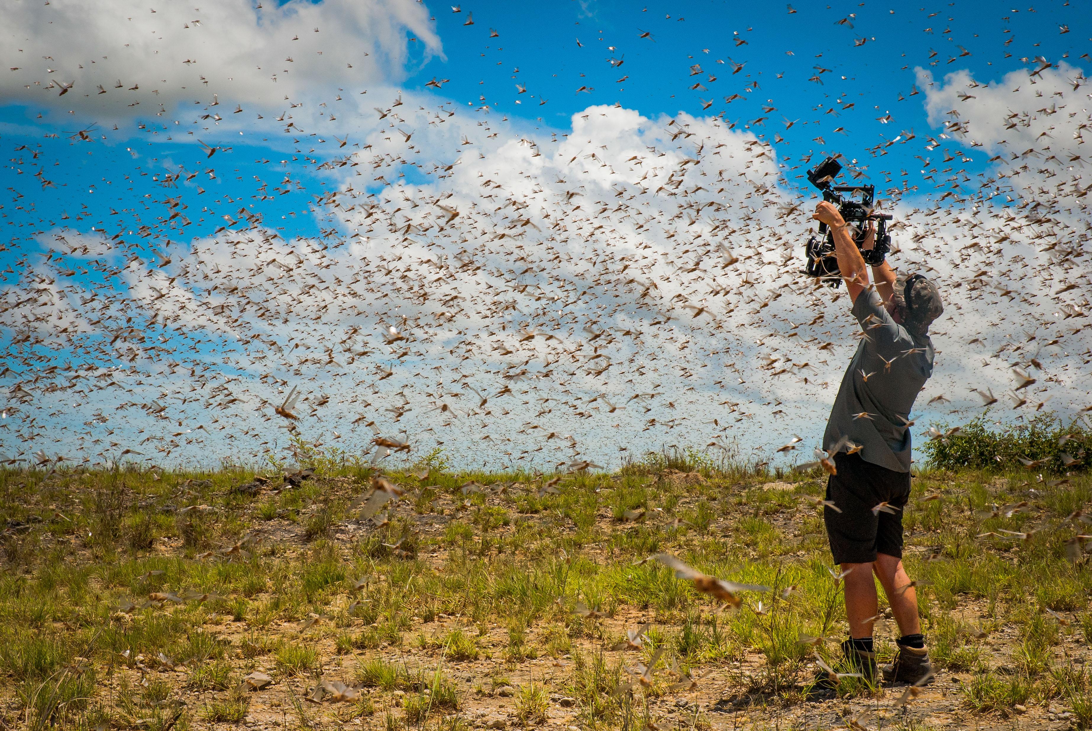 Cameraman filming swarm of locusts