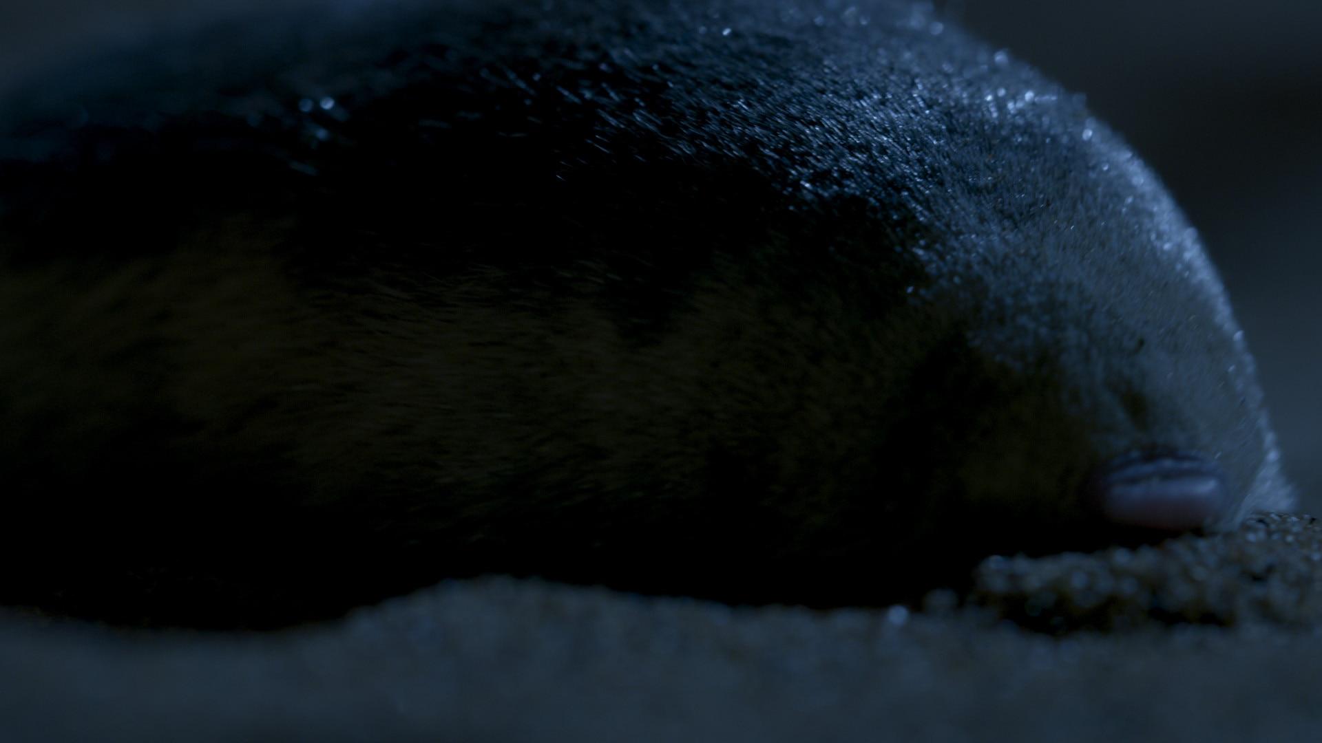 Golden mole in the desert