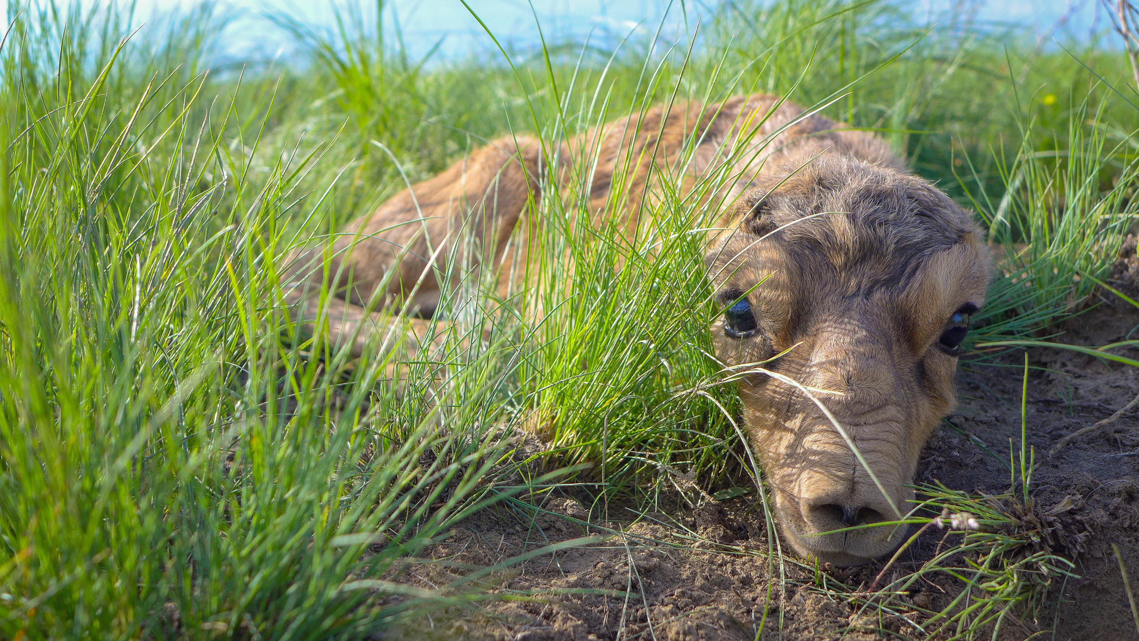Saiga antelope lying down