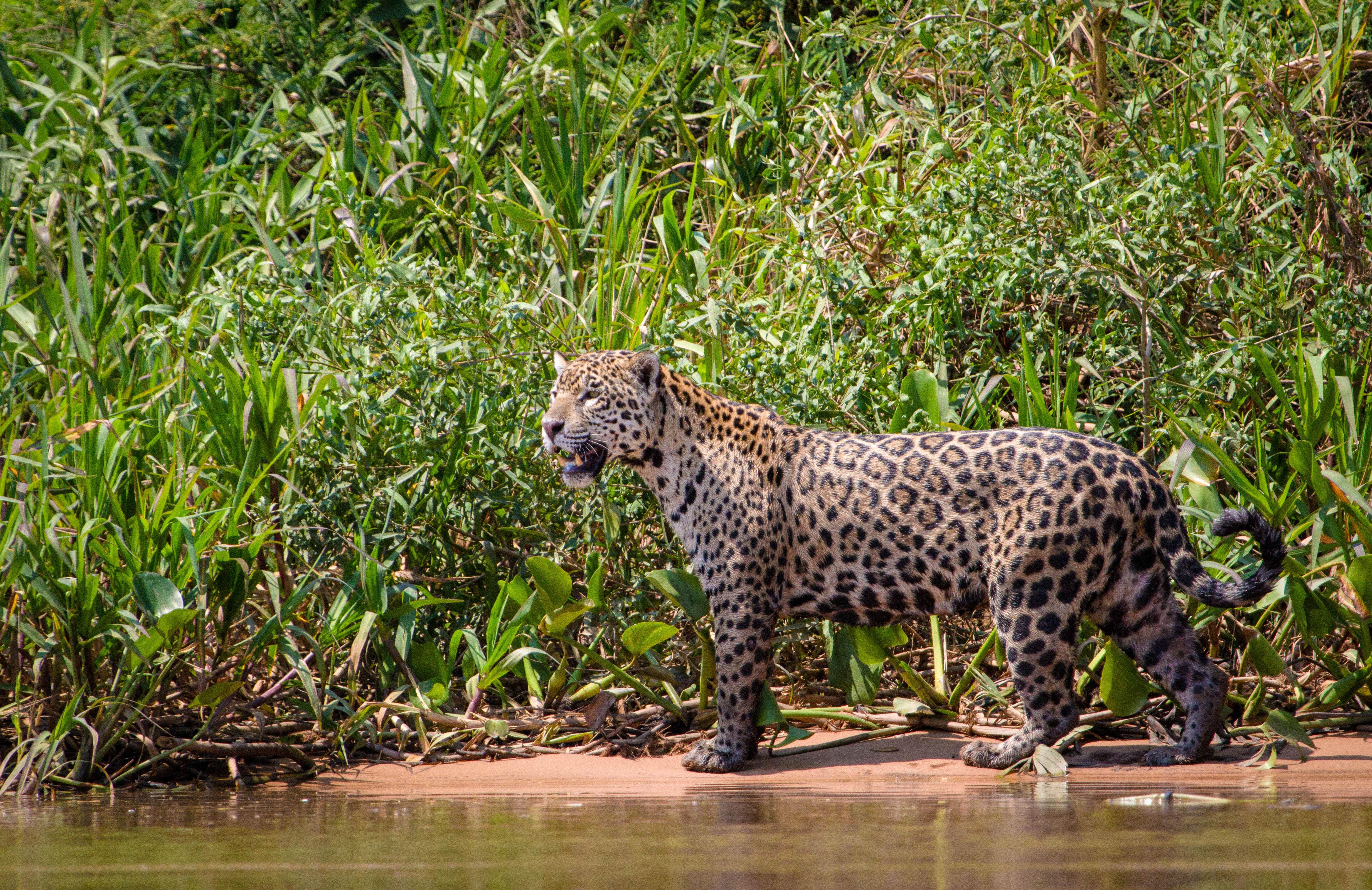 Jaguar standing on a river bank