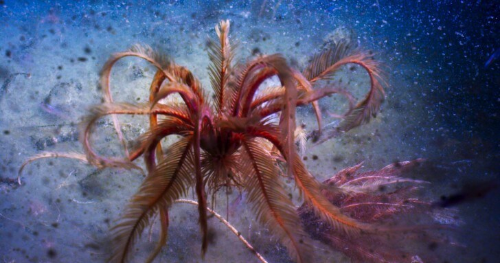 A feather star dances in the deep waters of the Antarctic Sound