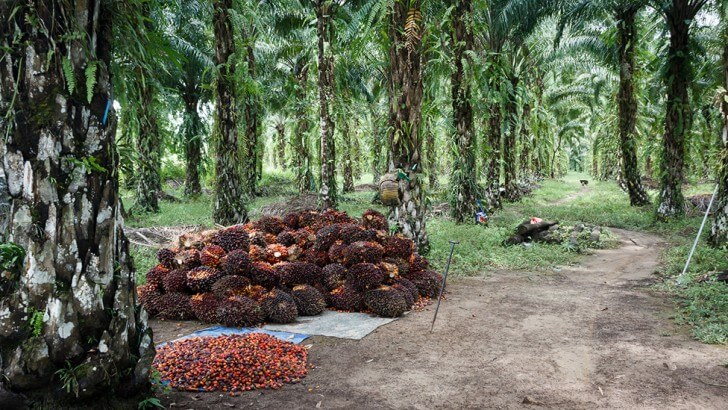 The harvest at an oil palm plantation in Borneo
