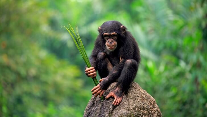 Chimpanzees use tools similar to 'honey dips' to help them drink water