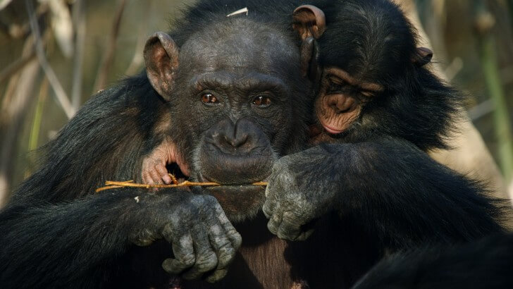An adult chimp holding a twig, with a baby chimp on its back