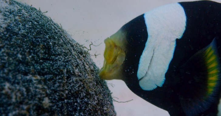 A male saddleback clownfish pushes a coconut shell to its anemone in Borneo