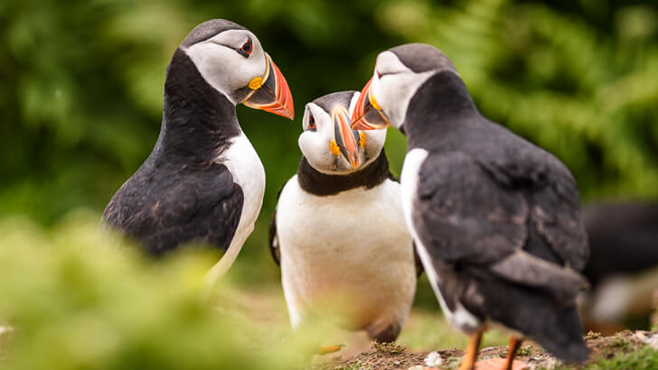 Three puffins looking like they are talking in a huddle