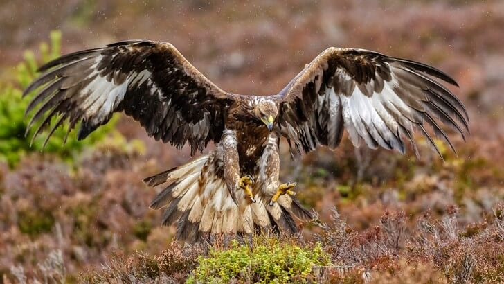A golden eagle with its wings extended
