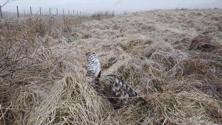A sat-tagged hen harrier called Annie, found shot on a grouse moor