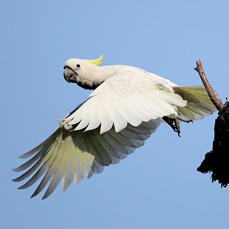 A yellow-crested cockatoo in flight